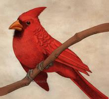 Cardinal by Nimphradora