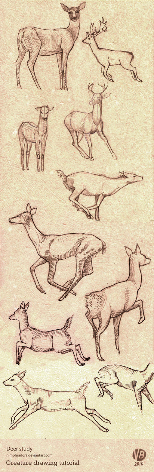 Deer poses study by Nimphradora