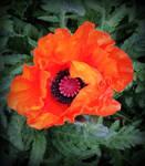 Vibrant Poppy by poca2hontas