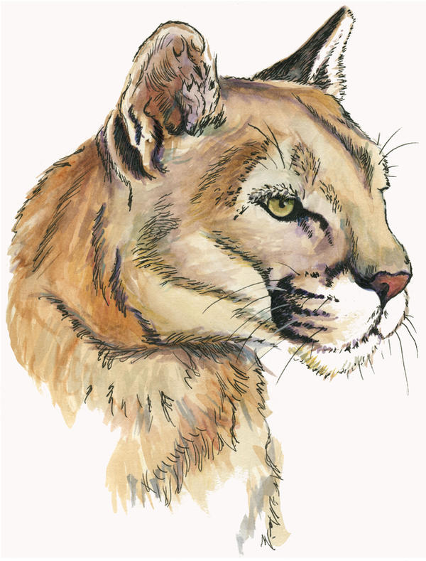 Cougar Face Line Drawing : Mountain lion face by mnagel on deviantart