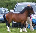 Bay Pony 1