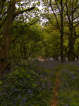 Bluebell Woods 3 by The-strawberry-tree