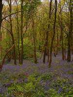 Bluebell Woods 5 by The-strawberry-tree