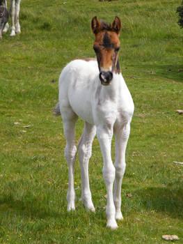 Moorland Foal 4