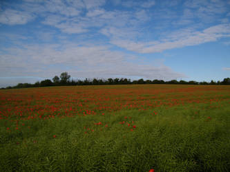 Poppy field 4 by The-strawberry-tree