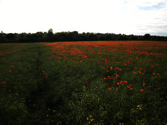 Poppy field 10 by The-strawberry-tree
