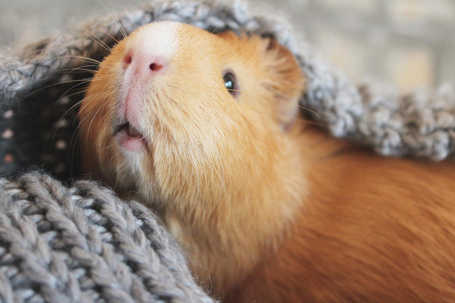 Guinea pig and her scarf by martiinej