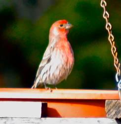 Little red bird by Rainstar17