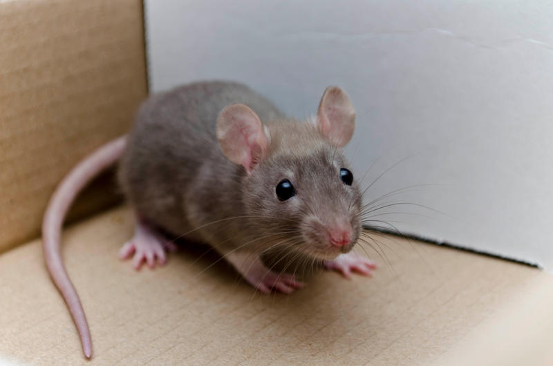 Baby Rats Images - Reverse Search