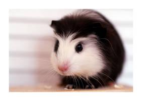 our guinea pig Maki by Kirika-Ayanami