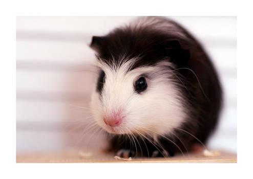 our guinea pig Maki