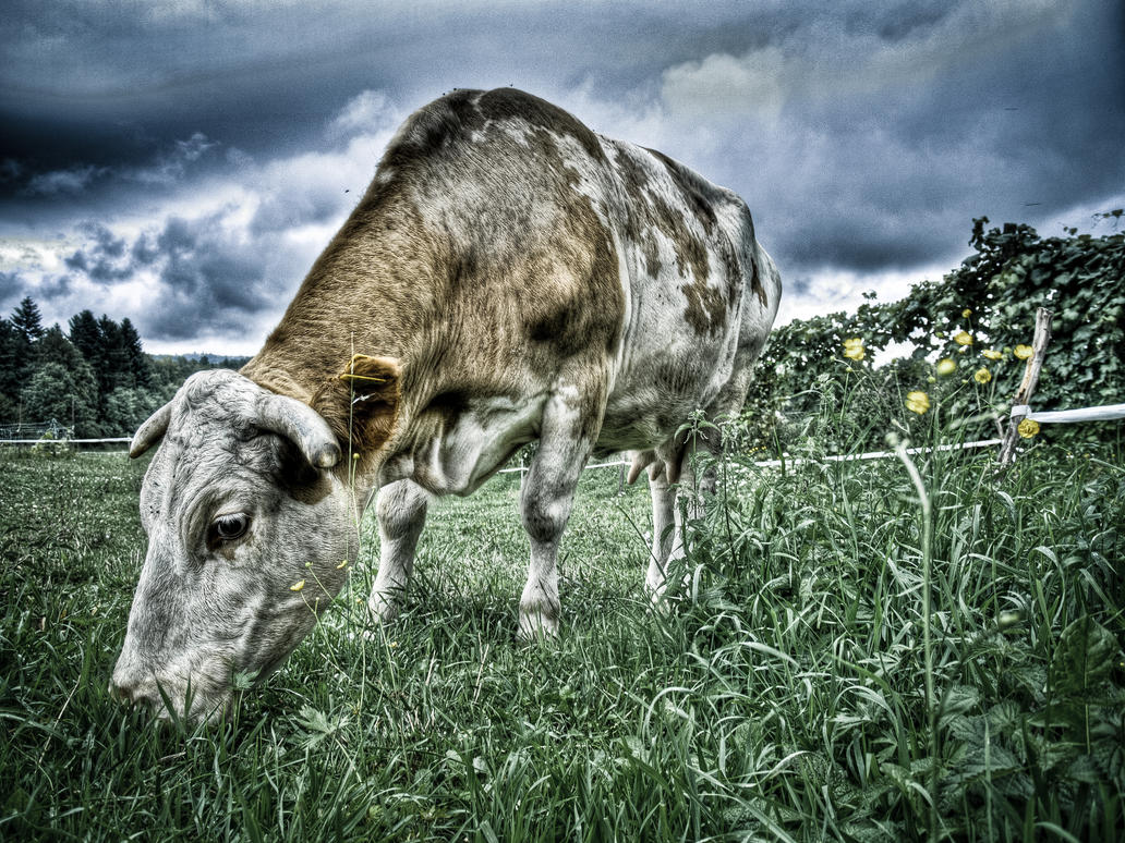 Cow in HDR by MattHalic