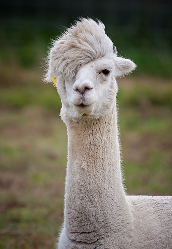 Hipster Llama L By Lemf