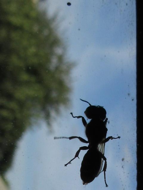 Vespidae et la vitre. Vespidae_by_calidris555-dadvwsi