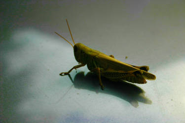 Young grasshopper by EssRocks