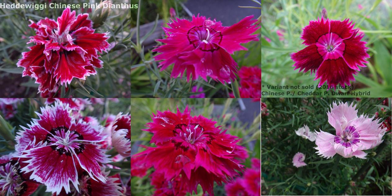 Heddewiggi Chinese Pink Dianthus By Dutch02 On Deviantart