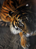 Tiger by jasdt