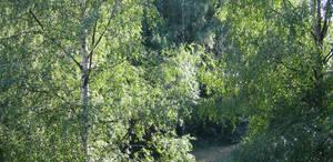Backyard Birches