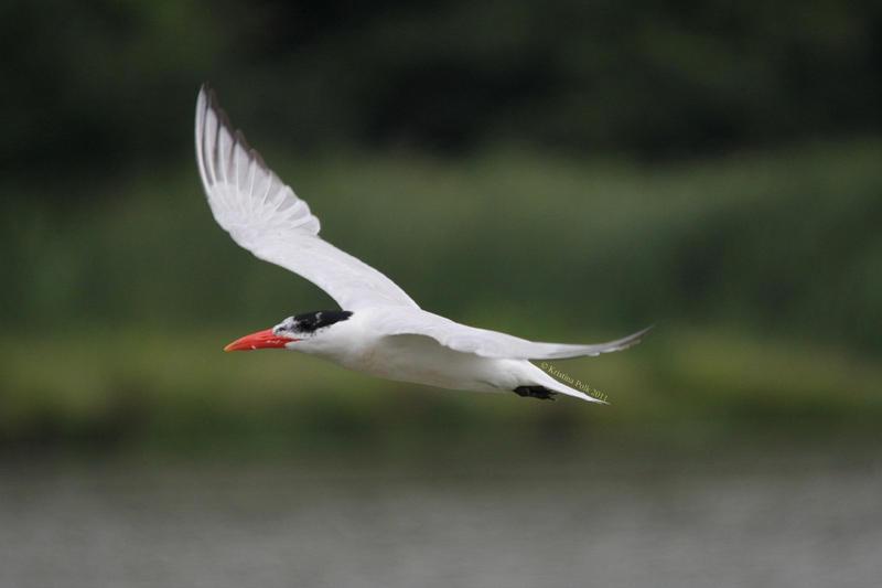Caspian Tern by verybluebird