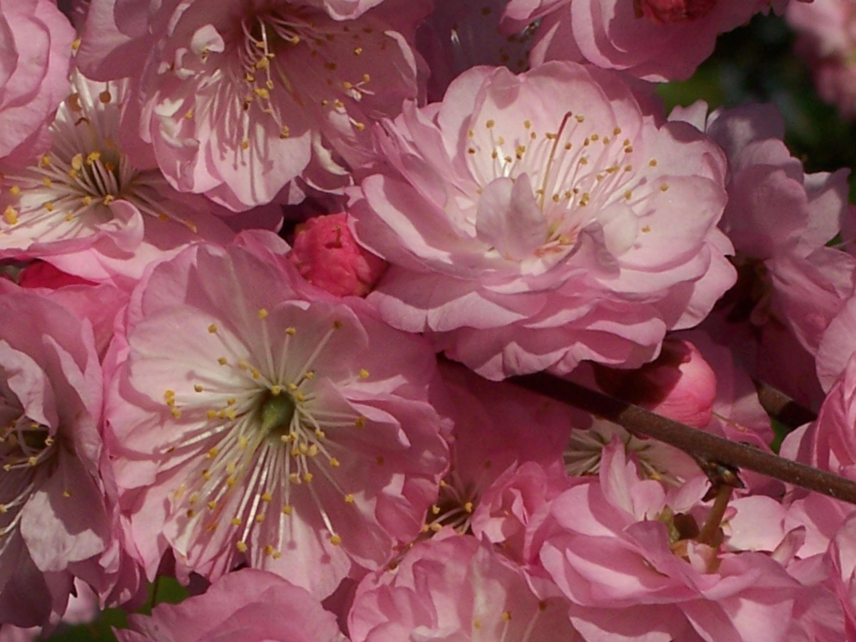 Flowering Almond Flowers by allatar on DeviantArt