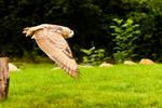 Owl Take Off 1