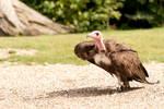Vulture Focused