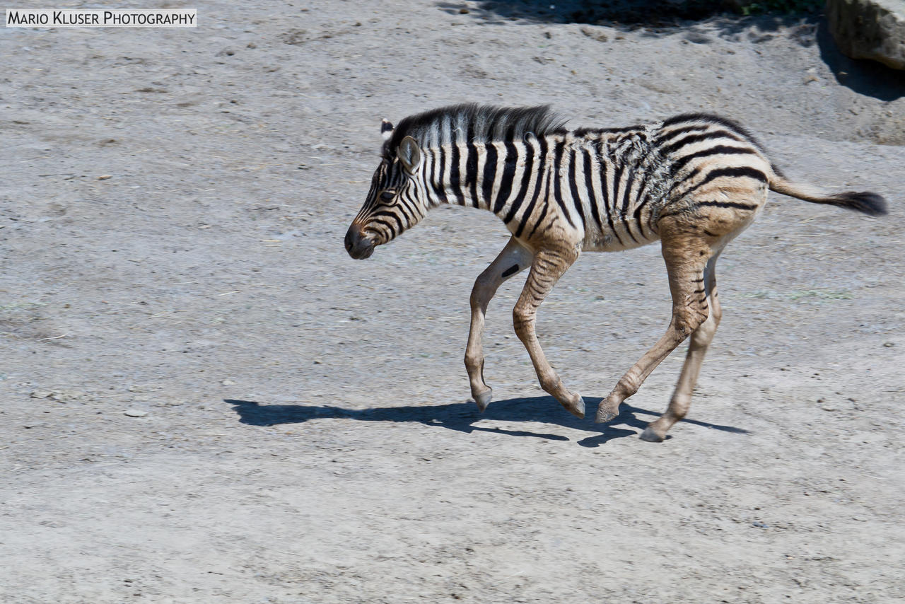 Young Zebra