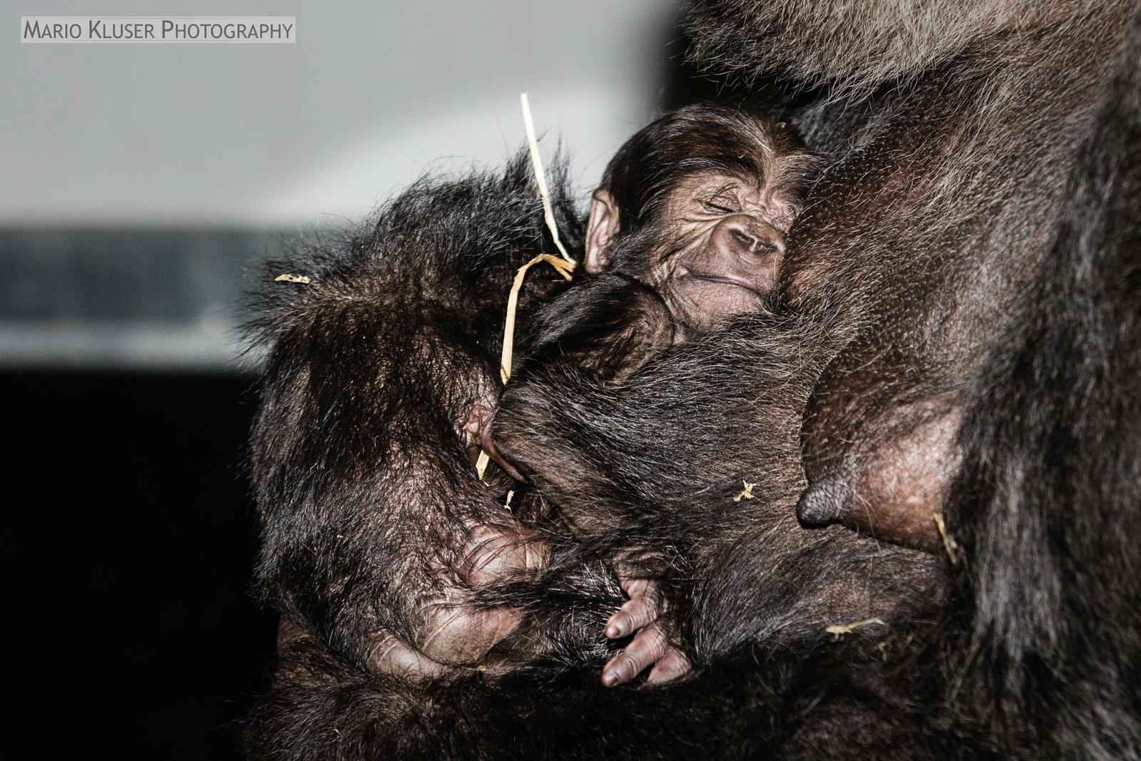 New Born Gorilla Gaia Zoo Kerkrade -2
