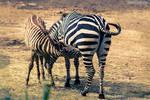 Zebras At Burgers