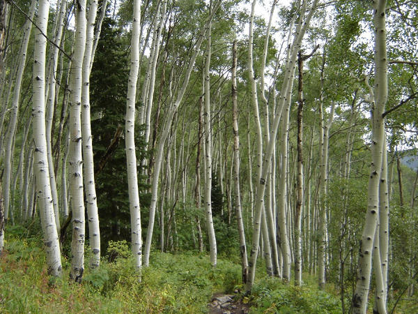 aspen grove by lilymaid7