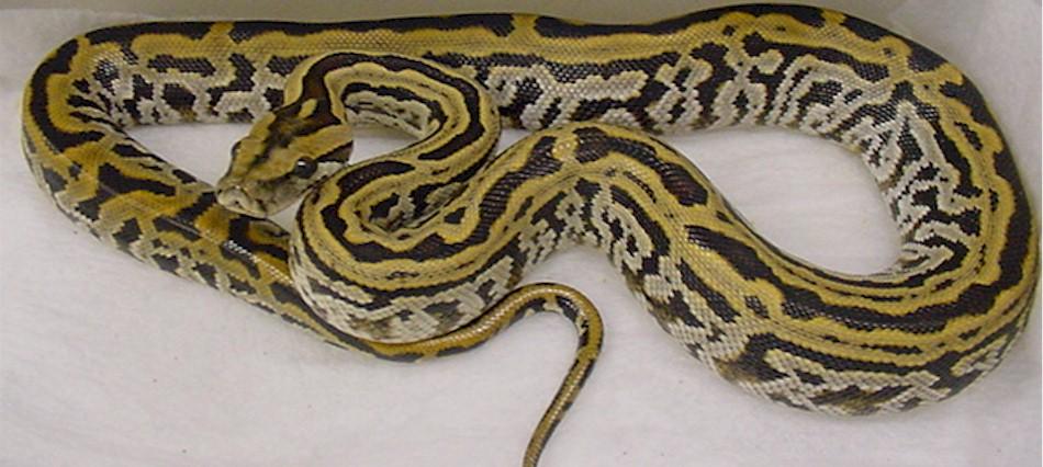 Burmese Python by Fushigi-Okami