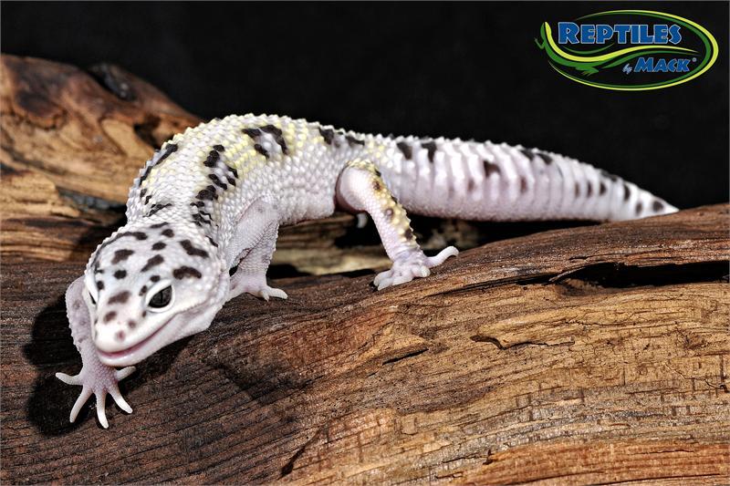 LeopardGeckoMackSnowAdult by Fushigi-Okami