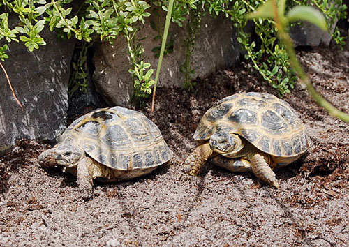 Russian Tortoise by Fushigi-Okami