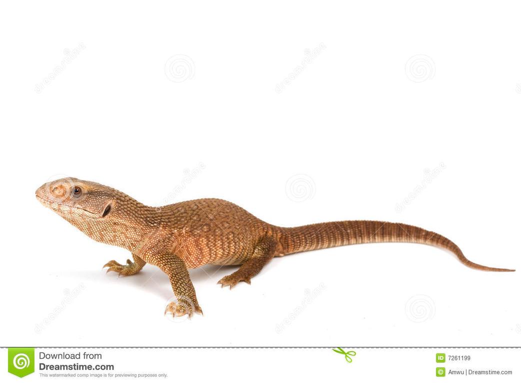 Savannah Monitor Lizard by Fushigi-Okami