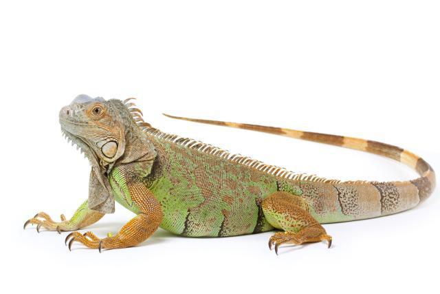 Green iguana by Fushigi-Okami