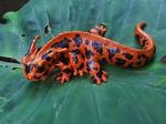 Six-Legged Fire Salamander