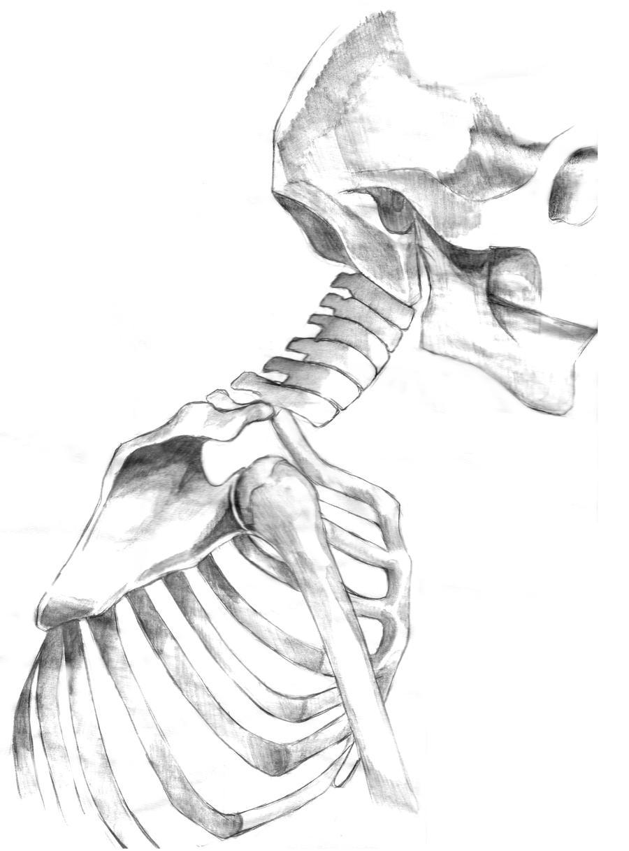Human Skeleton Drawing Reference 44915 Movieweb
