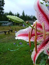 watered flower II by AnInnocentSpirit