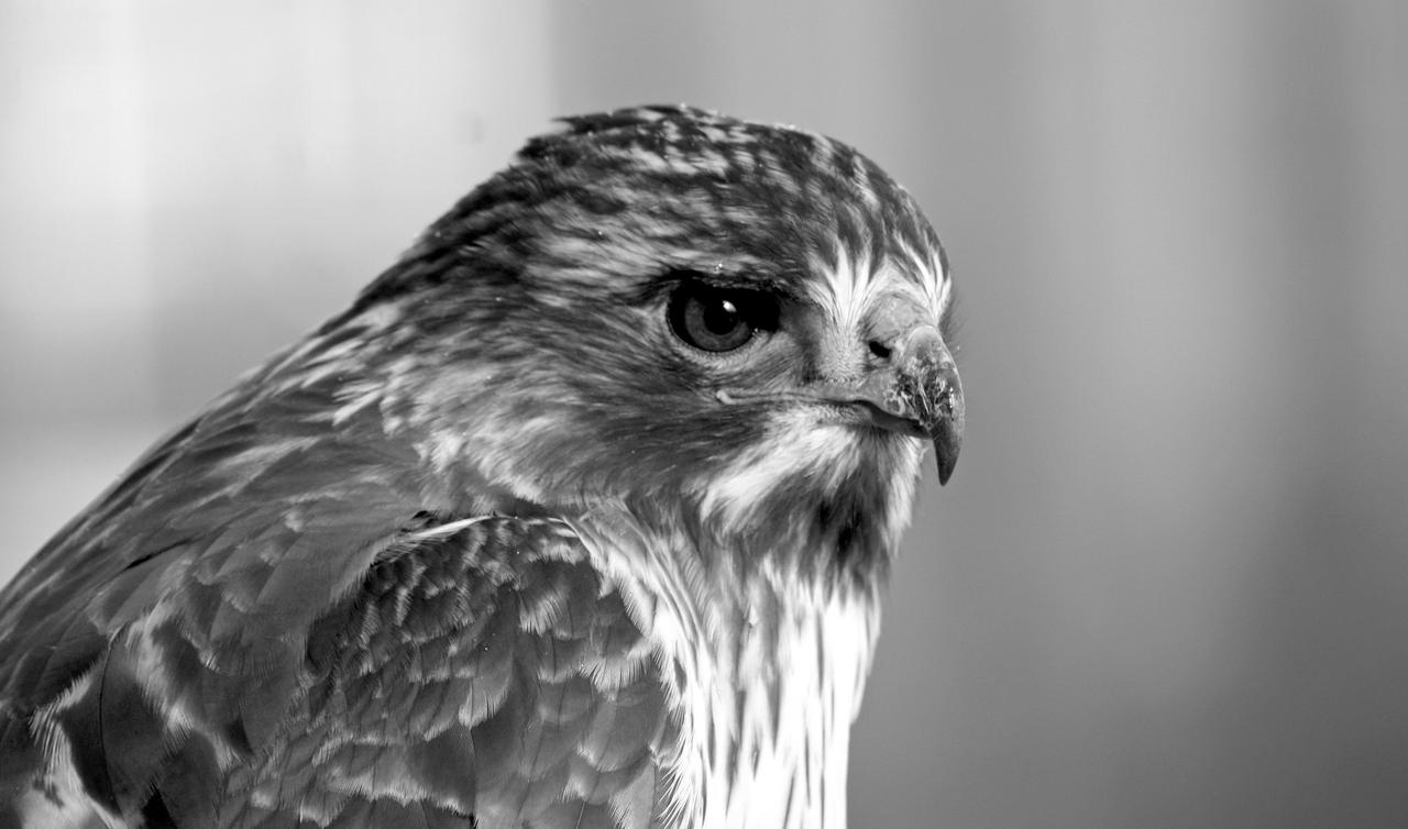 Black and White Hawk by kelseyxnicole on DeviantArt