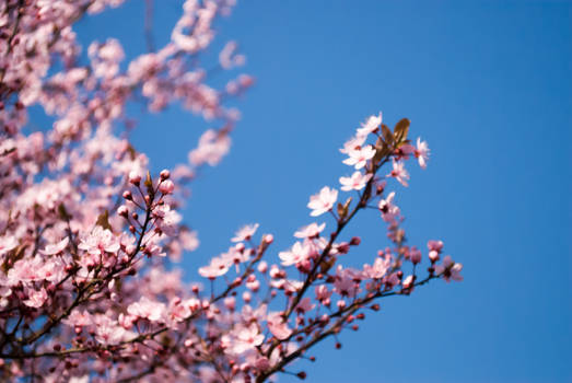 Plum Blossom 4