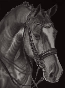 Equus Caballus (Pencil Drawing)