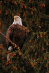 Bald Eagle by lechnirphotography