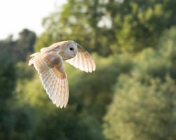 Barn owl on an evening flight by pell21