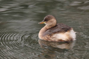 Little Grebe 31-12-17 by pell21