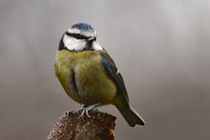 Blue Tit 20-1-18 by pell21
