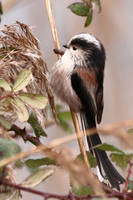 Long-Tailed Tit 2-2-18 by pell21