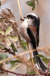 Long-Tailed Tit 2-2-18