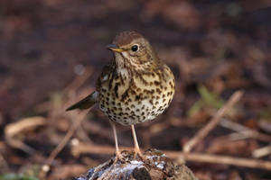 Song Thrush 7-2-18 by pell21