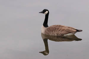 Tranquil Canada Goose by pell21