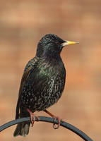 Starling 1 30-3-18 by pell21